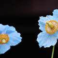 Photos: ヒマラヤの青いケシ