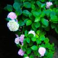 Photos: 紫陽花のある風景