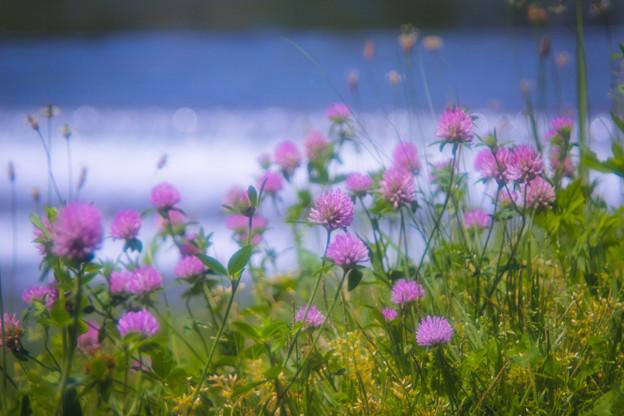 賀茂川の土手に咲く