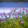 Photos: 賀茂川の土手に咲く