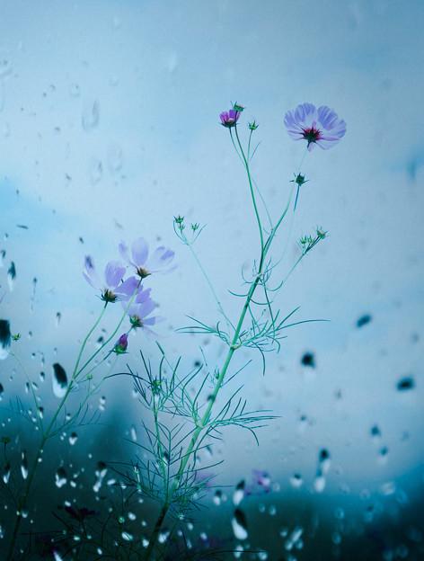 雨のコスモス(アート)