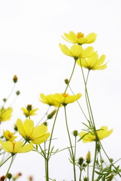 Photos: 黄色のコスモス