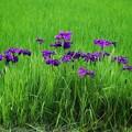Photos: 田んぼに花