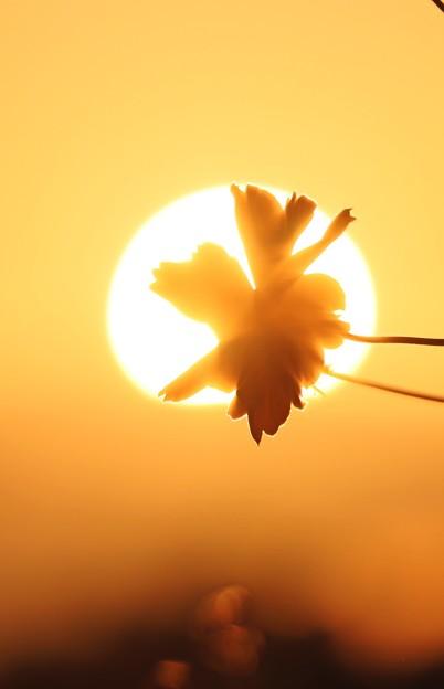 夕陽の中のコスモス