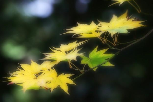 緑黄色モミジ