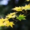 Photos: 緑黄色モミジ