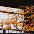 光明寺のモミジ