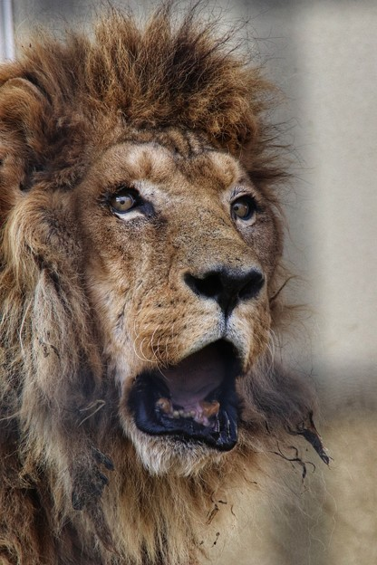 老いたライオン