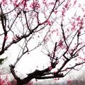 梅の有る景色