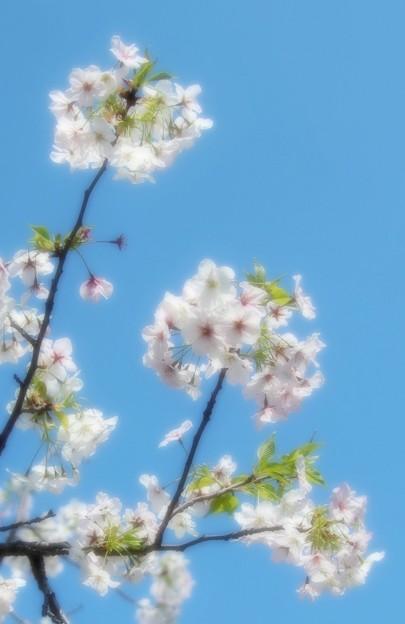 青空と桜(岡江さん安らかに)