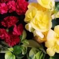 Photos: 母の日の花