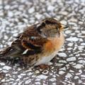 凍える幼鳥