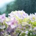 Photos: 雨の紫陽花(レタッチ)