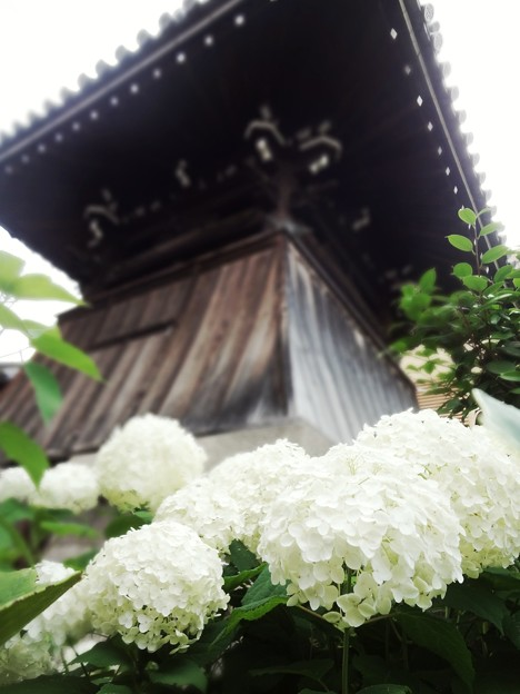 鐘楼と紫陽花