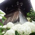 Photos: 鐘楼と紫陽花