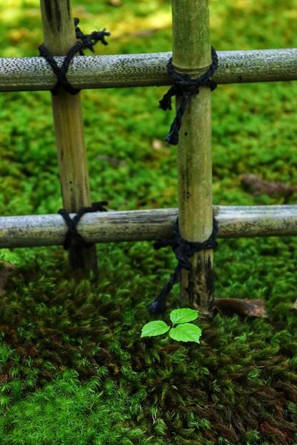 竹格子と三つ葉