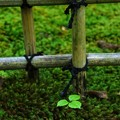 Photos: 竹格子と三つ葉