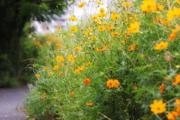 河川敷の花畑
