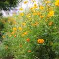 Photos: 河川敷の花畑