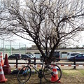 P1050293 造園中の梅の木と一緒に...。
