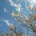 P1050296 梅の花...1