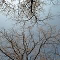 写真: DSC_7521 桜と青空