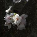 Photos: DSC_7524 桜