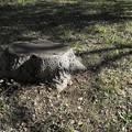 Photos: DSC06186 16-9 木の切り株...、っと、みどりと...。