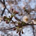 Photos: 桜 2020