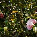 Photos: DSC09505 椿の花