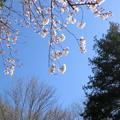 Photos: CIMG1222 見上げてみた、桜