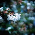 Photos: DSC01290 出迎えてくれる花 アベリア