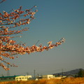 Photos: 桜と青空