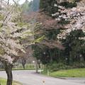 Photos: 桜吹雪
