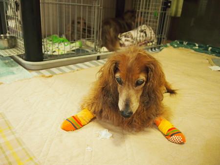 老犬ブルーちゃんの開脚