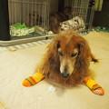 Photos: 老犬ブルーちゃんの開脚