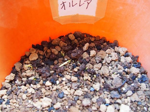 種まき12日目でオルレアの芽がでた