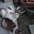 写真: ミケママ&茶ブチ&・・・0602