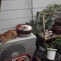 写真: ミニチグ、茶ブチ、子ネコ0813