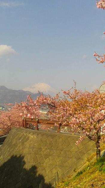 富士山と桜@神奈川県松田町、西平畑公園