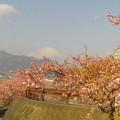 Photos: 富士山と桜@神奈川県松田町、西平畑公園