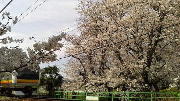 神奈川県川崎市多摩区、二ケ領用水の桜と南武線2