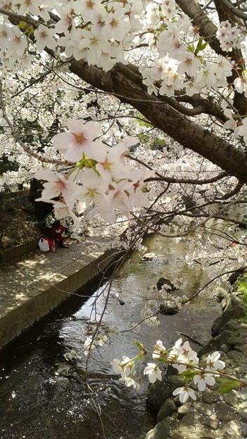 神奈川県川崎市多摩区、二ケ領用水の桜 緑橋から