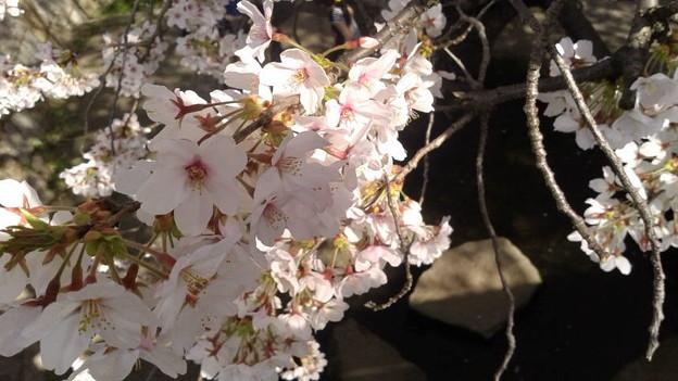 神奈川県川崎市多摩区、二ケ領用水の桜 たか橋から