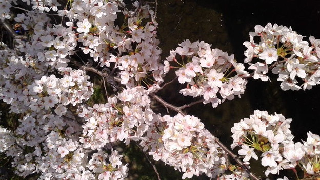 神奈川県川崎市多摩区、二ケ領用水の桜 中村橋から