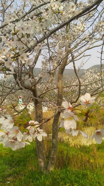 備前福河駅前の桜