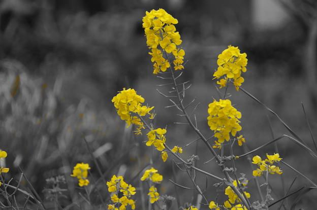 黄色い花の咲くころ