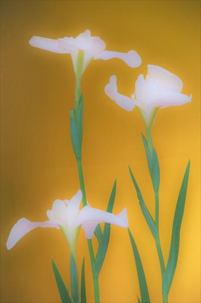 金屏風の花菖蒲