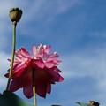 写真: 天に向かって咲く
