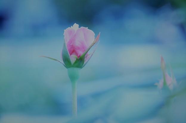 写真: また薔薇の咲く季節